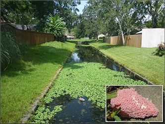 Channeled Apple Snail Habitat In Residential Area Near Rena Drive West Of Hood Road
