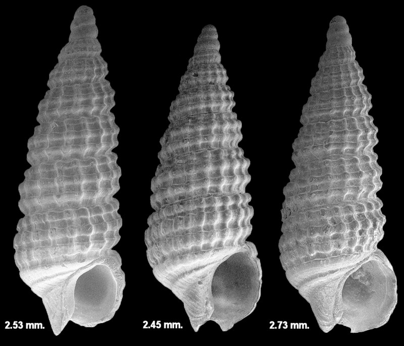 Cerithiopsis sp. cf. C. maisana Olsson and Harbison, 1953 Fossil