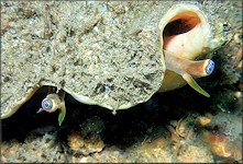 Three-eyed Lobatus costatus (Gmelin, 1791) Milk Conch