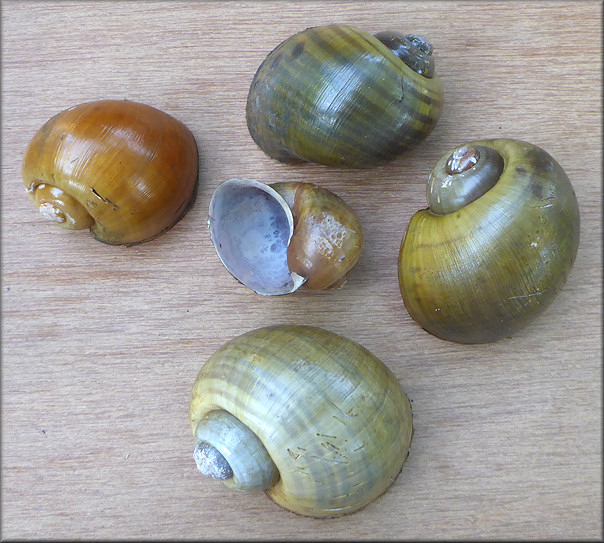 The five Pomacea maculata found in the habitat which include one gold and one malleated specimen