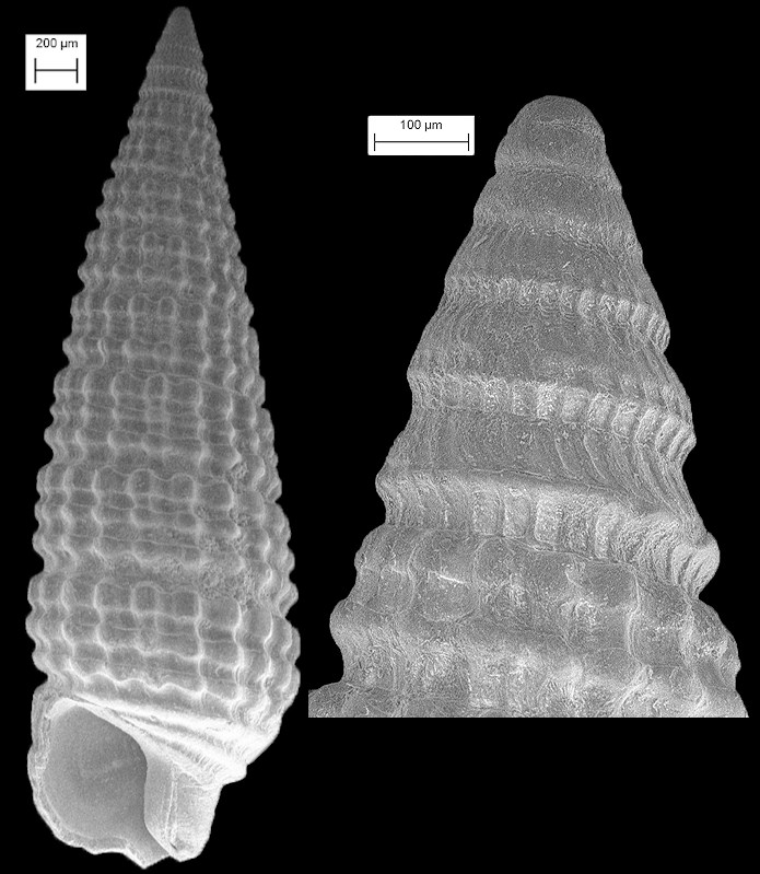 Triphora bolax Olsson and Harbison, 1953 Fossil