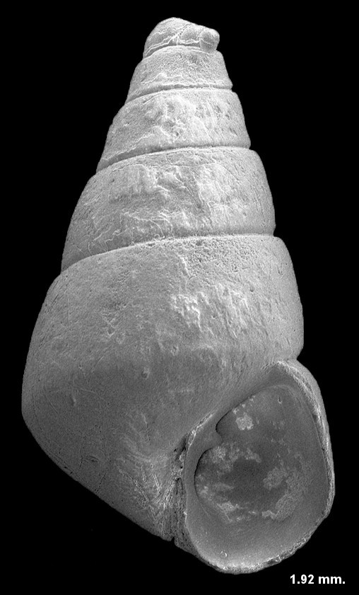 Eulimastoma canaliculatum (C. B. Adams, 1850) Channeled Odostome