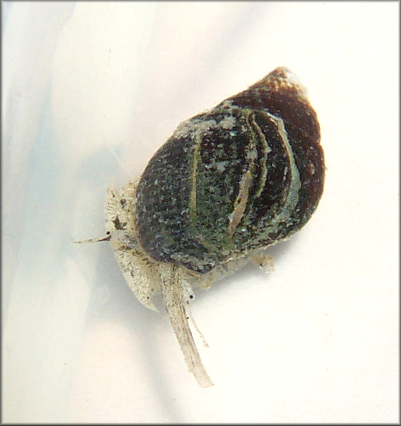Ilyanassa obsoleta (Say, 1822) Eastern Mudsnail