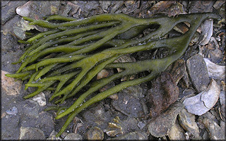 Codium fragile Green Fleece Alga | Dead Man's Fingers