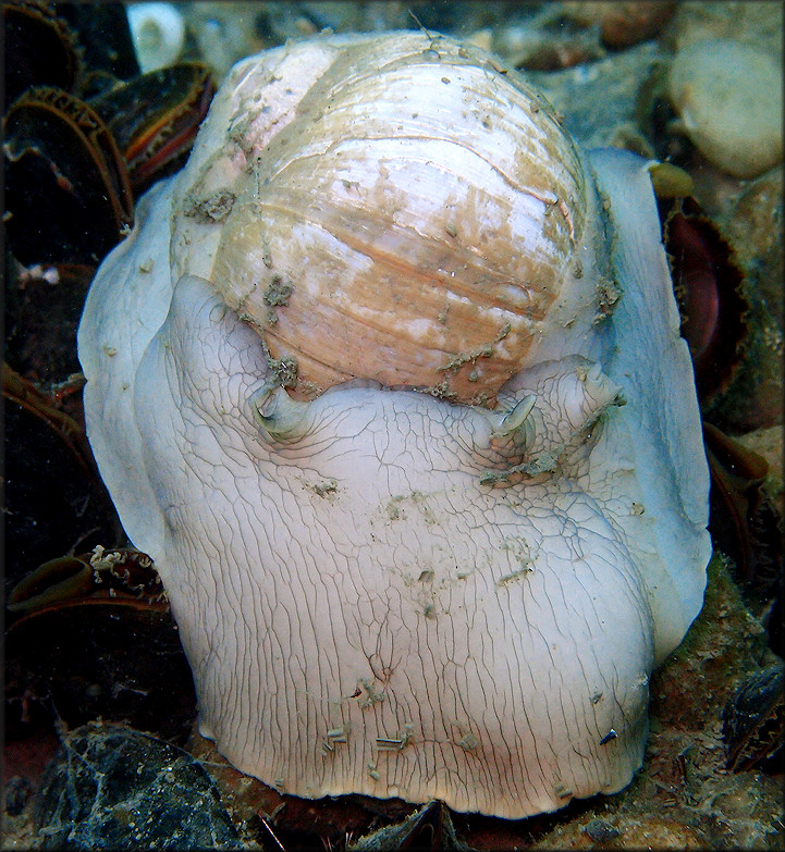 Euspira heros (Say, 1822) Northern Moonsnail In Situ