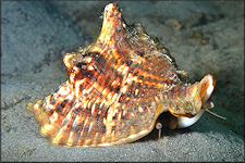 Lobatus raninus (Gmelin, 1791) Hawkwing Conch In Situ