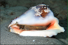 Lobatus raninus (Gmelin, 1791) Hawkwing Conch Living Animal