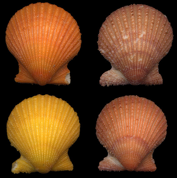 Lindapecten muscosus (W. Wood, 1828) Rough Scallop