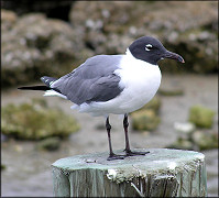 Larus atricilla Laughing Gull