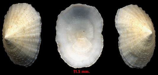 Patelloida pustulata (Helbling, 1779) Spotted Limpet