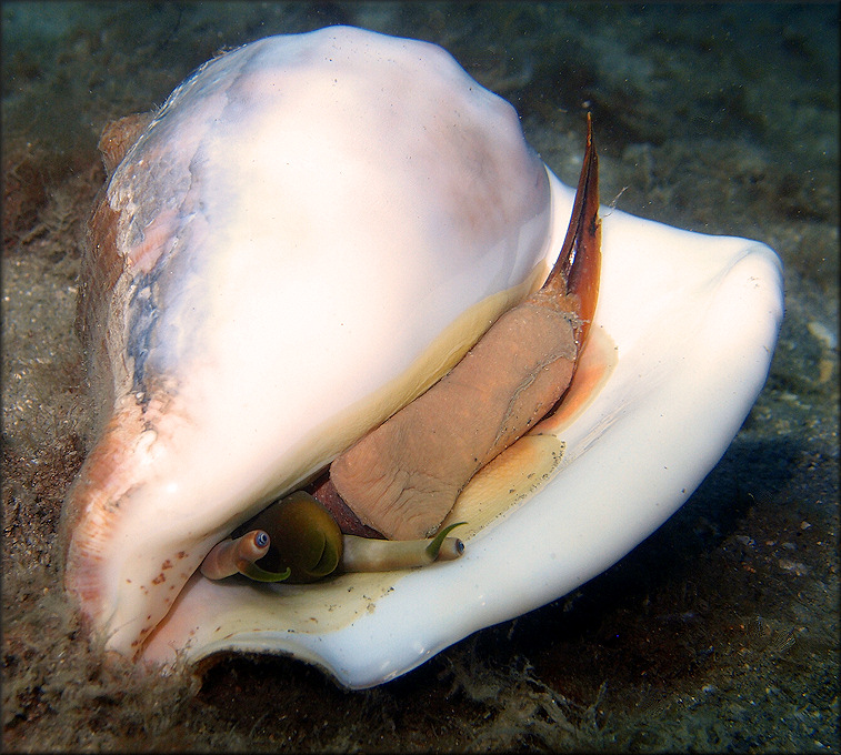 Strombus costatus Gmelin, 1791 Milk Conch