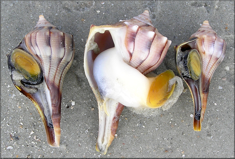 Busycon perversum (Linnaeus, 1758) Lightning Whelk Light Colored Animal