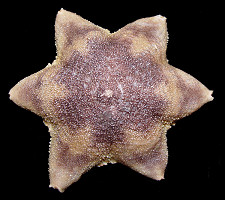 "Pteraster obscurus (Perrier, 1891) "" Obscure Cusion Star"""