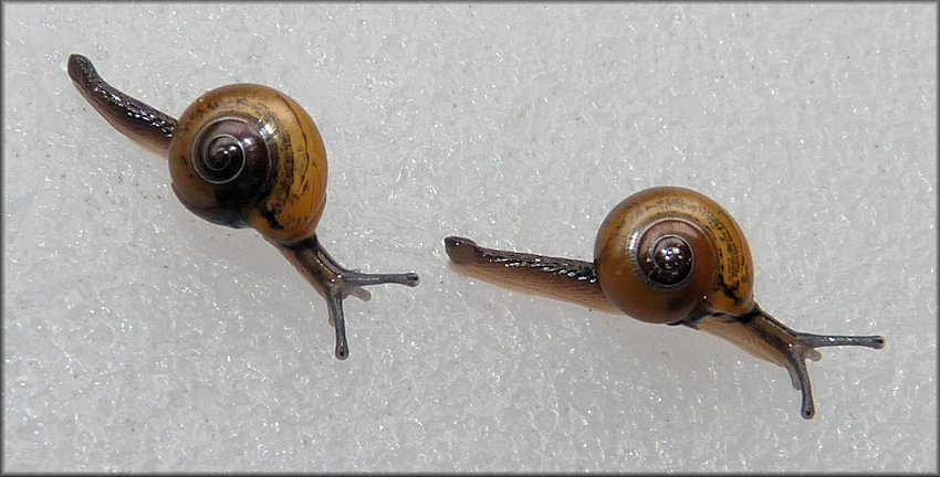 "Ovachlamys fulgens (Gude, 1900) ""Jumping Snail"""