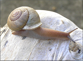 Neohelix species