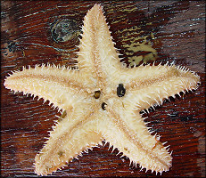 "Poraniopsis inflata (Fisher,1906) ""Thorny Star"""