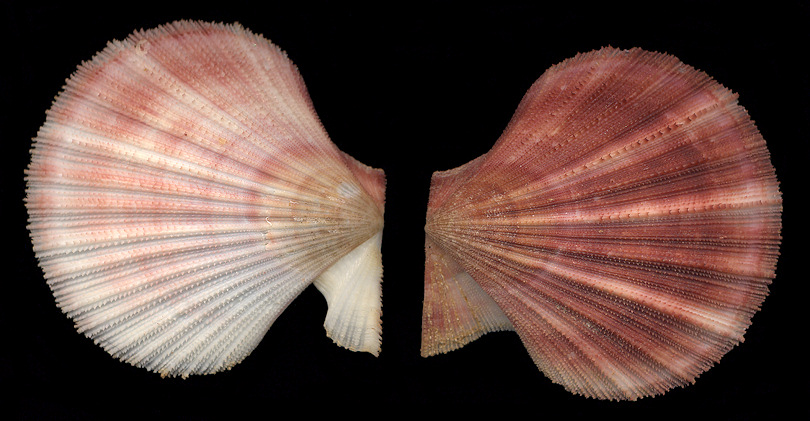 Chlamys hastata (G. B. Sowerby II, 1842) Spiny Scallop