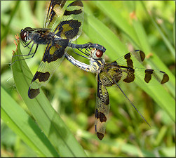 Banded Pennant [Celithemis fasciata] Mating