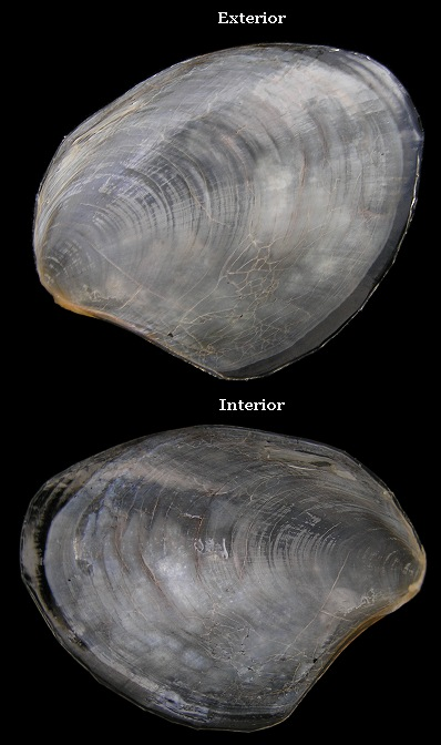 Aplysia fasciata Poiret, 1789 Mottled Seahare Internal Shell