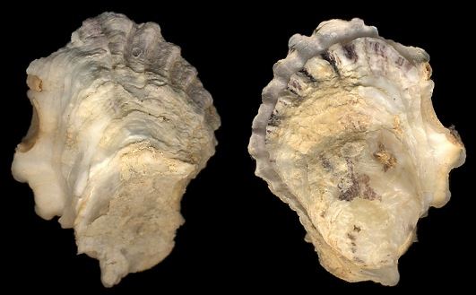Ostreola equestris (Say, 1834) Crested Oyster