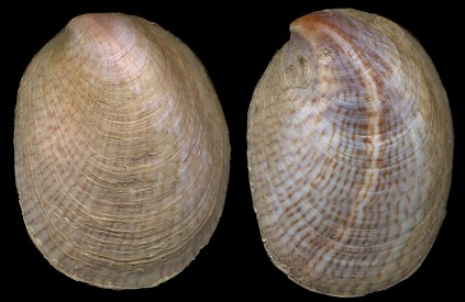 Crepidula fornicata (Linnaeus, 1758) Common Atlantic Slippersnail