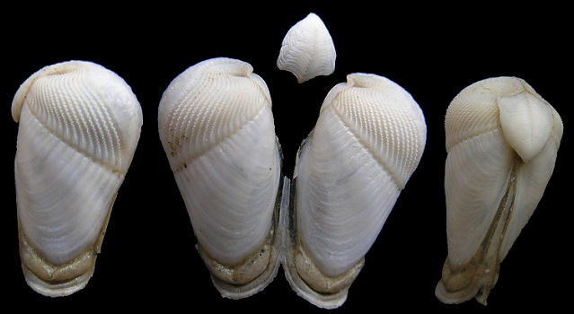 Martesia cuneiformis (Say, 1822) Wedge Piddock