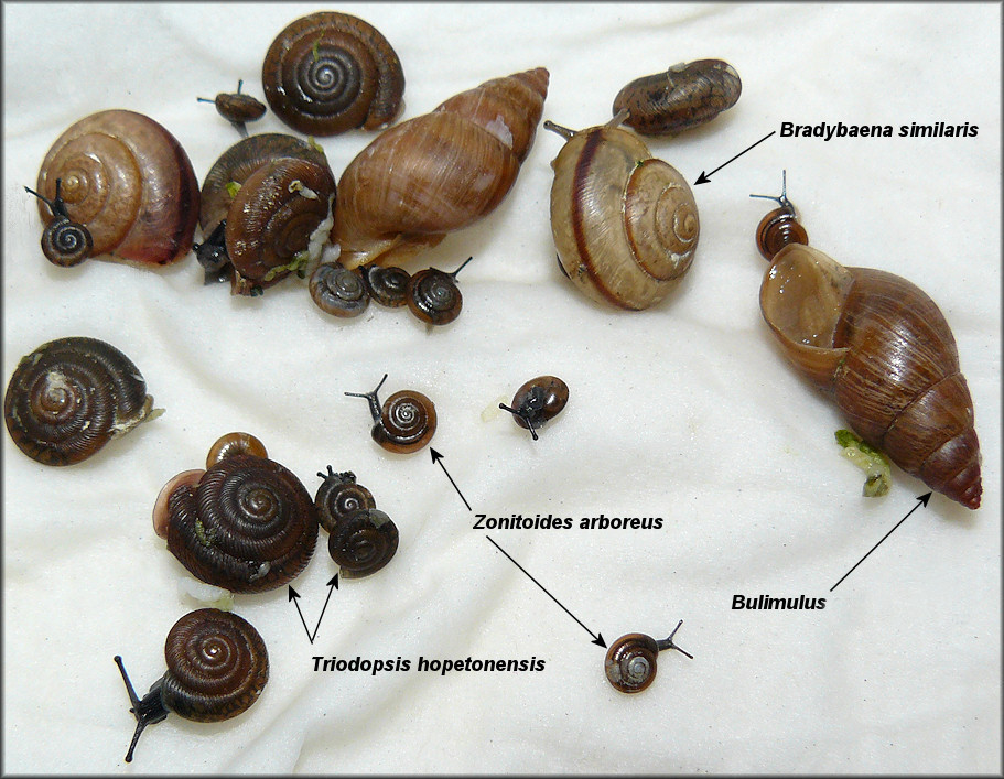Some Of The Snails From Behind The Duval Container Company On Hanover Street