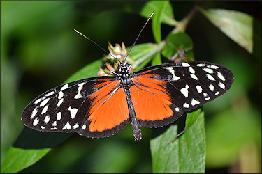 Hercale heliconius Longwing Hecale