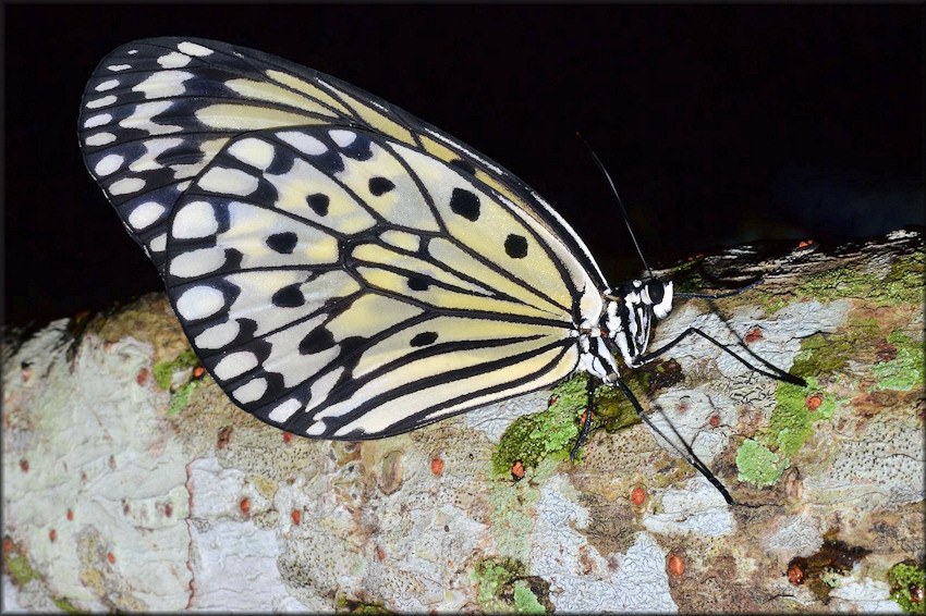 Idea leuconoe Tree Nymph