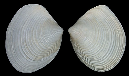 Raeta plicatella (Lamarck, 1818) - Channeled Duck Clam