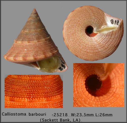 Calliostoma barbouri Clench and Aguayo, 1946