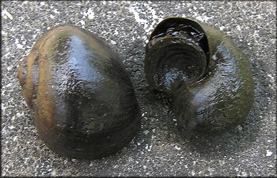 Mating Pomacea pair found in the ditch