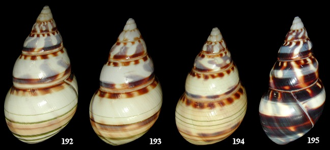 Liguus fasciatus nancyae Close, 1994