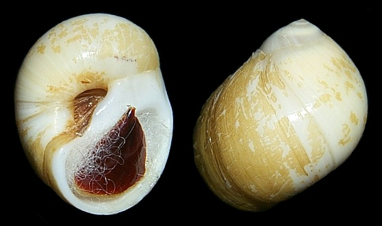 Polinices lacteus (Guilding, 1834) Milk Moonsnail