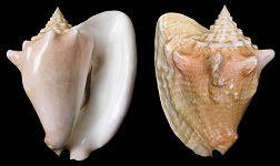 Lobatus costatus (Gmelin, 1791) Milk Conch