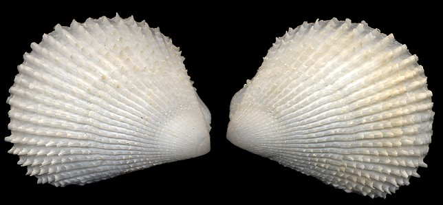 Lima caribaea d'Orbigny, 1853 Spiny Fileclam