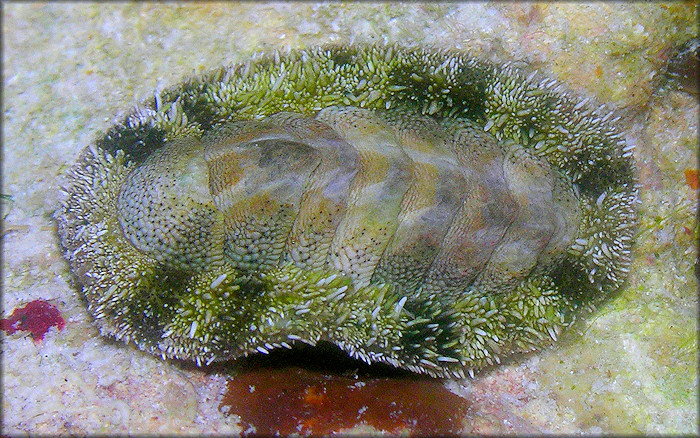 Acanthopleura granulata (Gmelin, 1791) West Indian Fuzzy Chiton