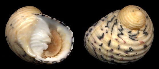 Nerita versicolor Gmelin, 1791 Four-tooth Nerite