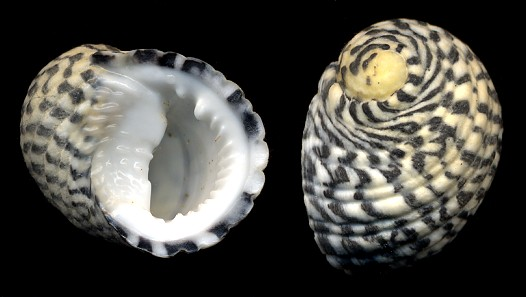 Nerita tessellata Gmelin, 1791Checkered Nerite