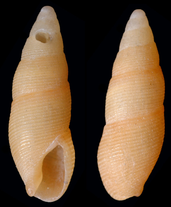 Aesopus stearnsii (Tryon, 1883) Stearns' Dovesnail