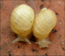 Succinea campestris Say, 1818 Crinkled Ambersnail
