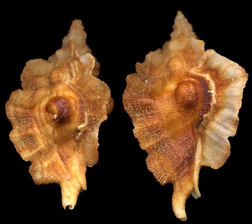 Ceratostoma fournieri Crosse, 1861