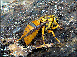 Southern Yellowjacket [Vespula squamosa]