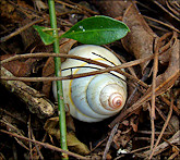 Liguus fasciatus Müller 1774 Florida Tree Snail Laying Eggs