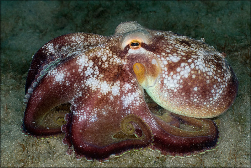 Octopus burryi G. Voss, 1950 Brownstripe Octopus