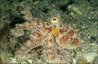 Octopus Species From The Lake Worth Lagoon