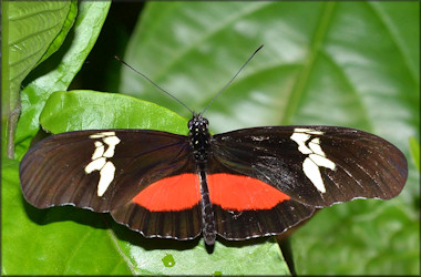Heliconius hortense Mexican Heliconian