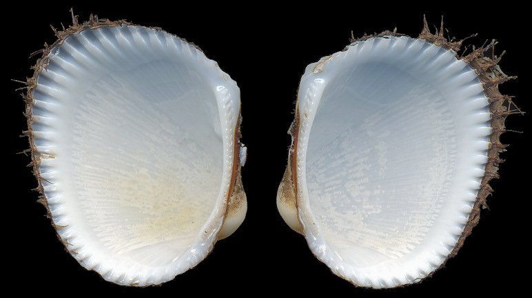 Lunarca ovalis (Bruguière, 1789) Blood Ark