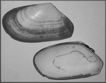 Macoma pulleyi Boyer, 1969