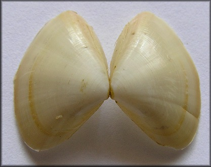 Mulinia lateralis (Say, 1822) Dwarf Surfclam